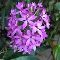 Эпидендрум укореняющийся, ф. фиолетовая