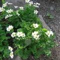 Красивоцветник сахалинский