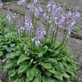 Hosta rectifolia