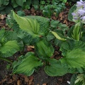 Hosta sieboldiana cv. 'Guardian Angel'
