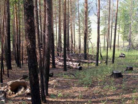 Нелегальные заготовки древесины