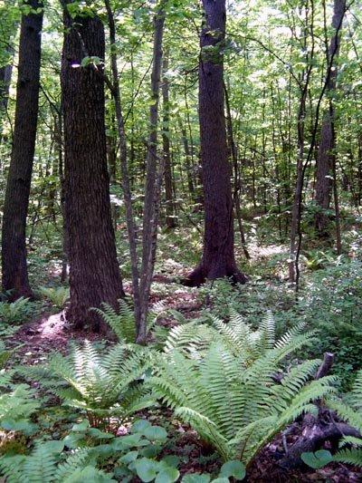 чернопихтово-широколиственный лес