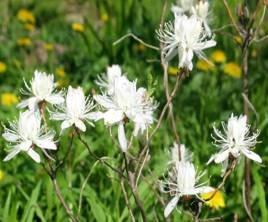 Rhododendron catawbiense album