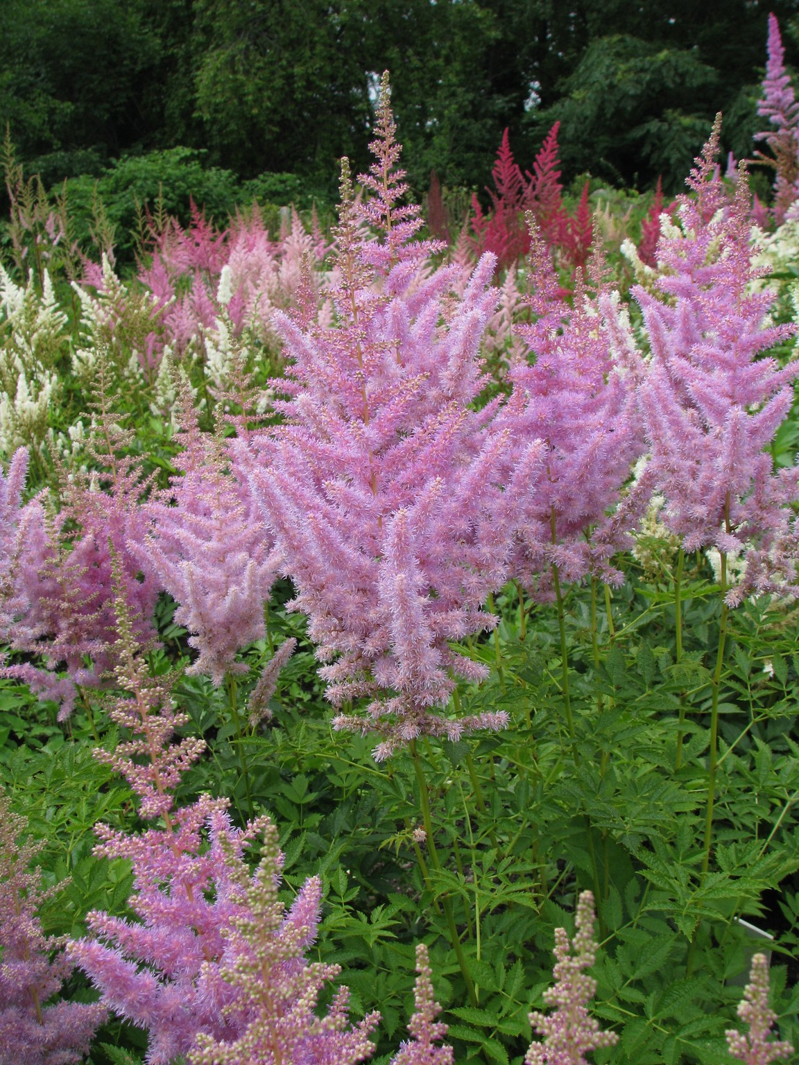 Astilbe A.×arendsii