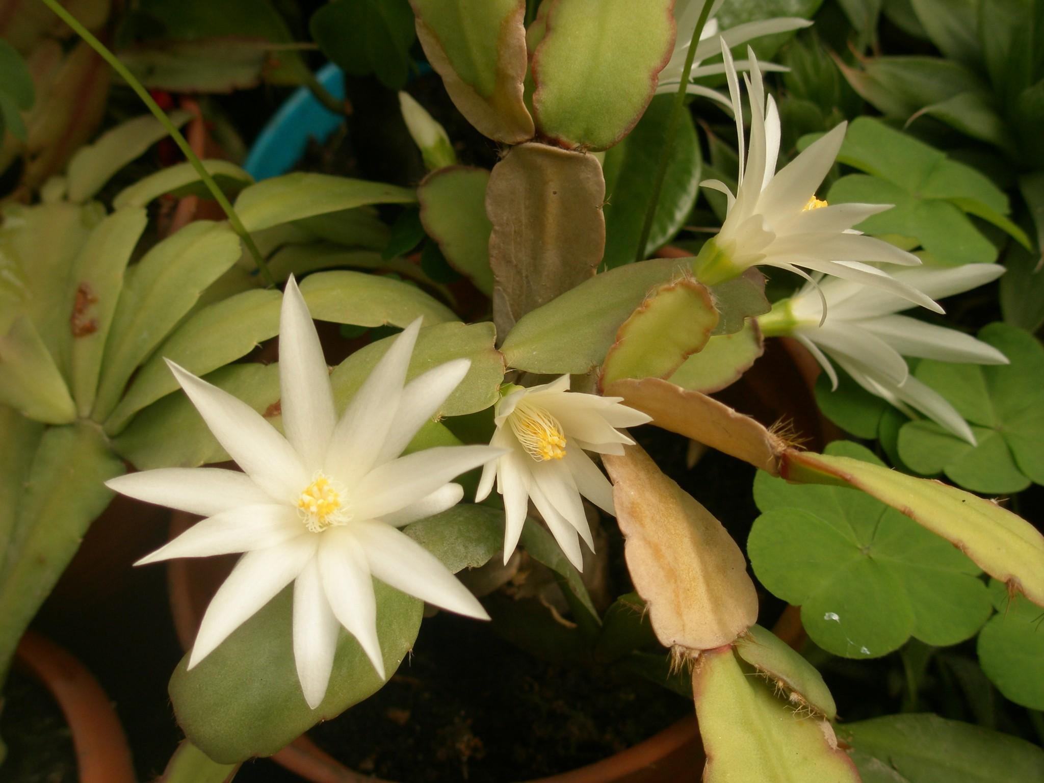 Домашний цветок хатиора