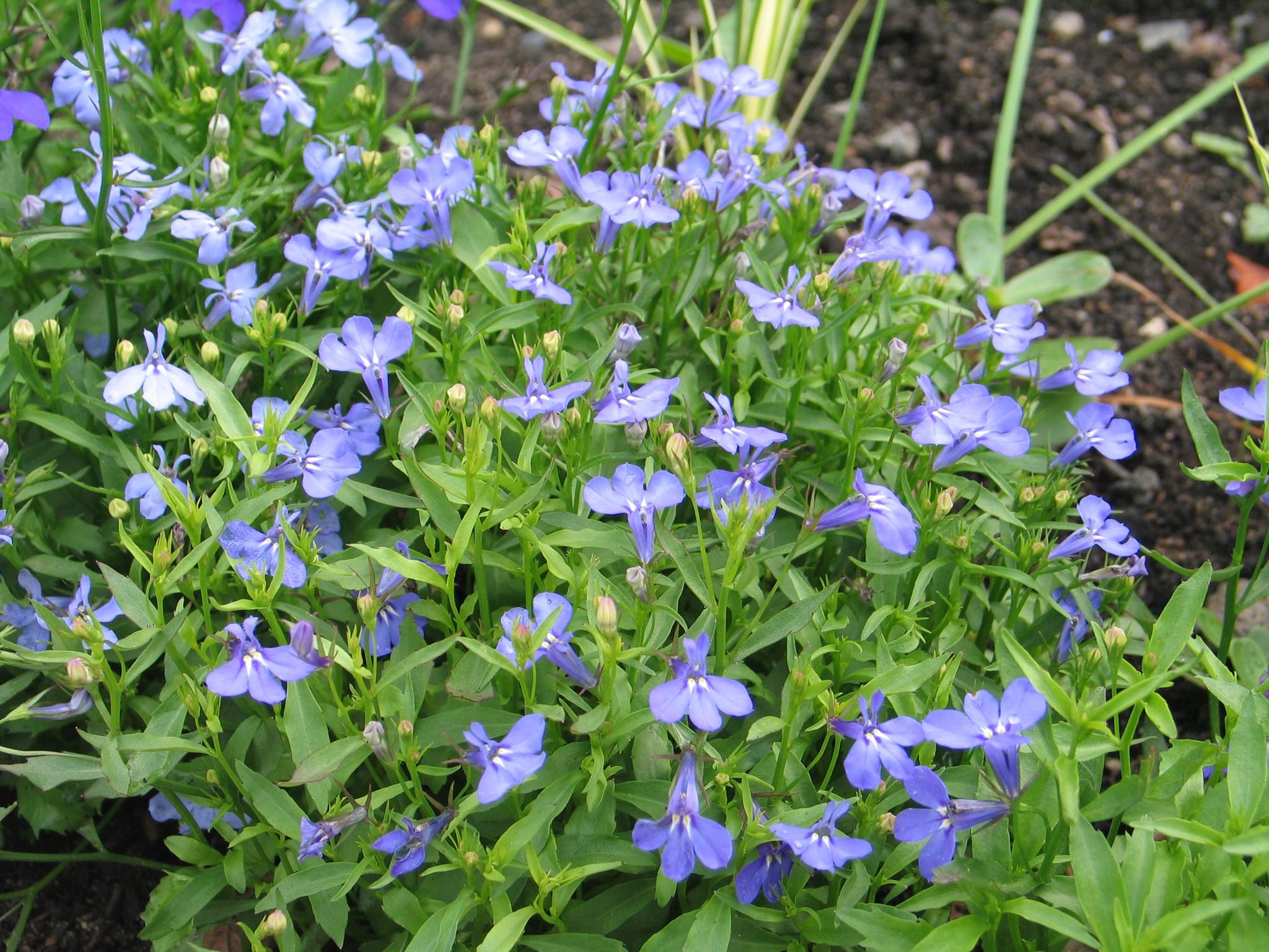 Лобелия эринус фото цветов