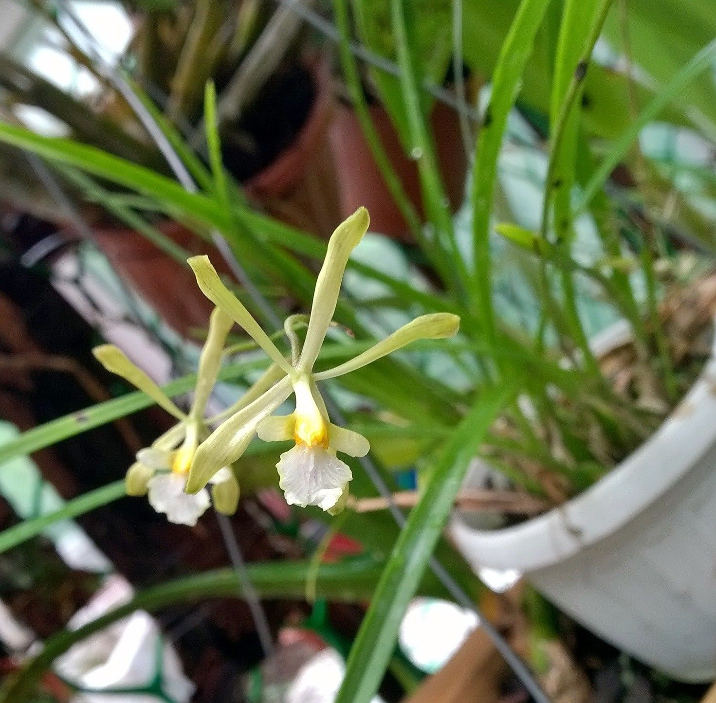 Encyclia withneri