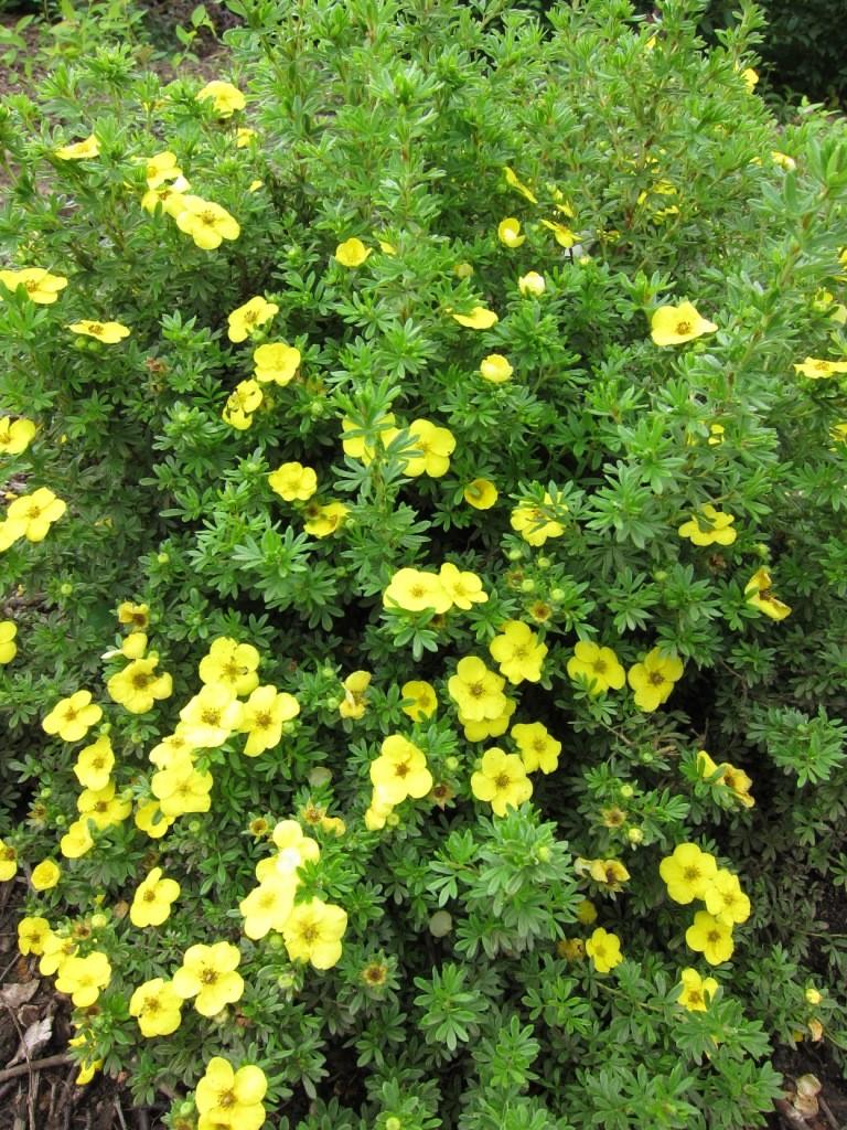 Лапчатка кустарниковая уход и выращивание фото 65