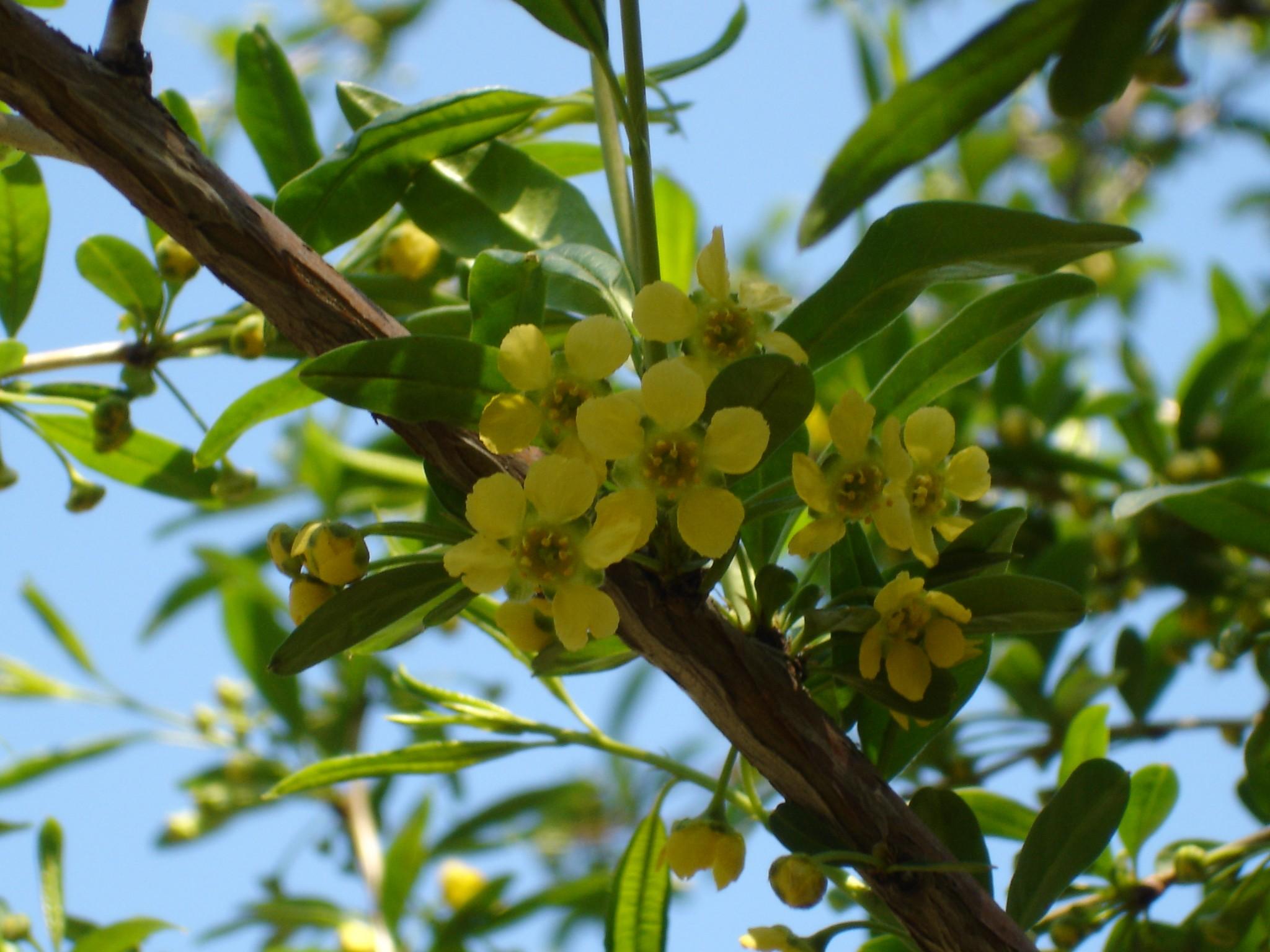 Принсепия китайская выращивание из семян 57