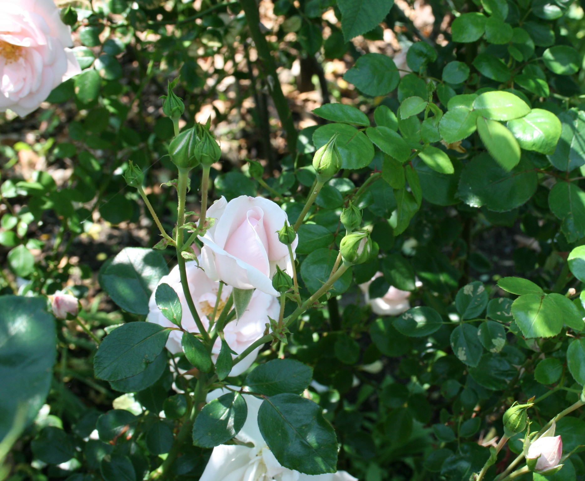 Rosa Large-flowerend Climber