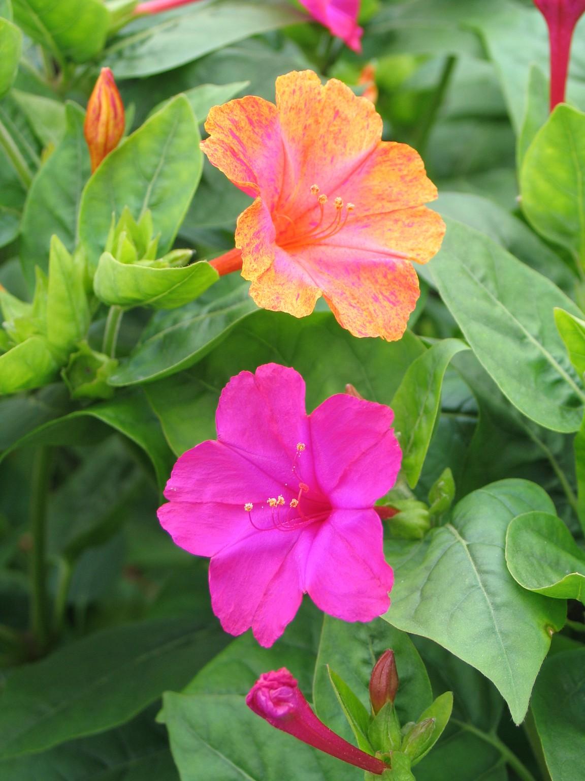 цветок утренняя зорька фото правда, пока