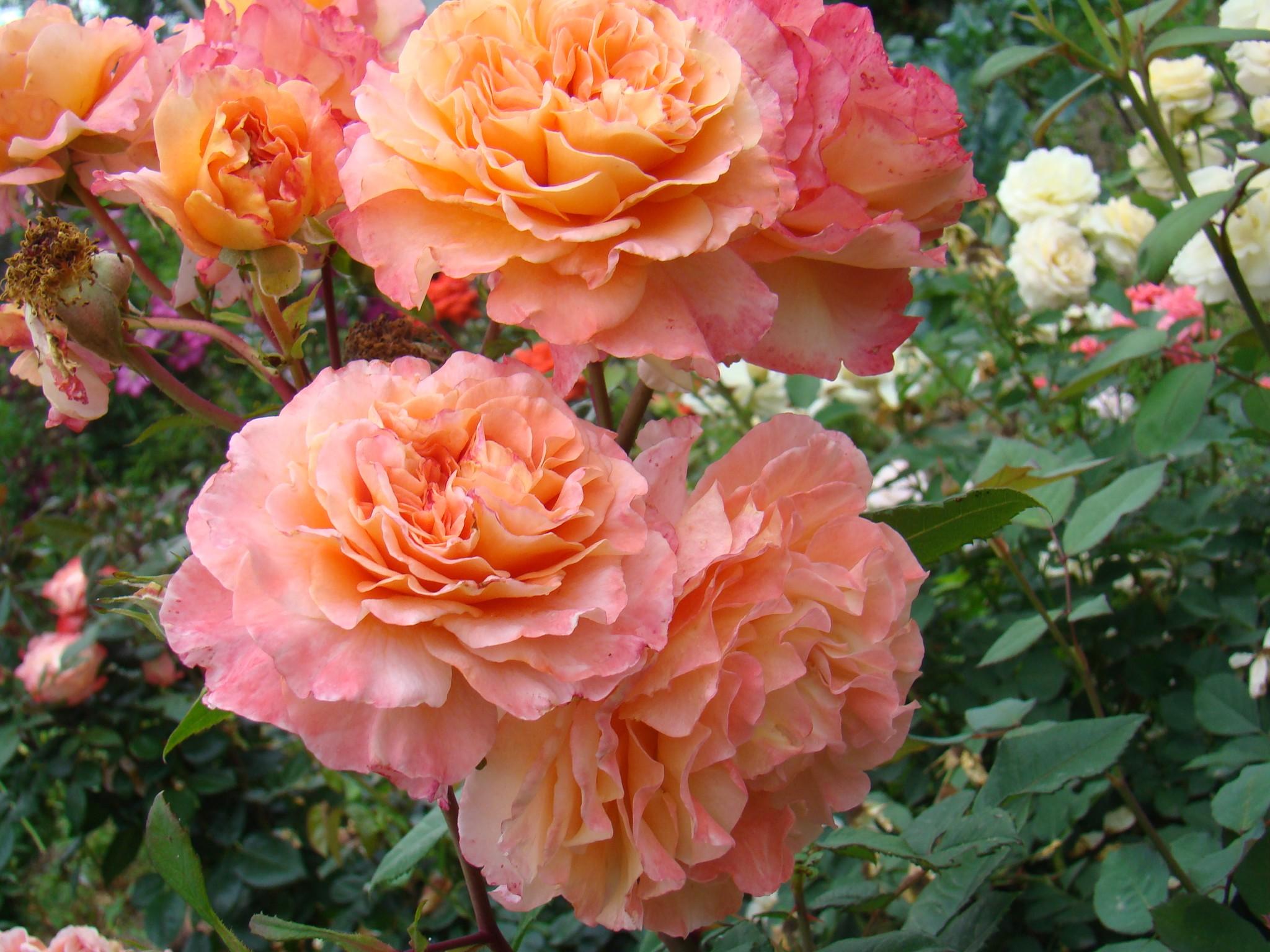 вполне роза августа луиза фото и описание отзывы стремления сохранять оберегать